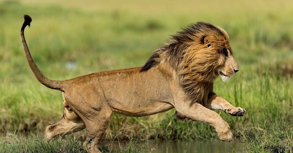Картинка львица в прыжке
