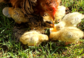 Golden and Pharaoh Coturnix Quail Chicks with Mother Frizzle Cochin Bantam