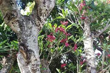 Harga Jual Pohon Kamboja Fosil