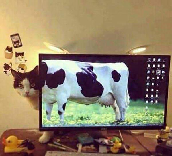 кот и картинка коровы