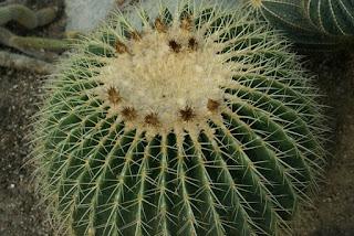 Photo de Cactus : Coussin de belle-mère - Echinocactus grusonii