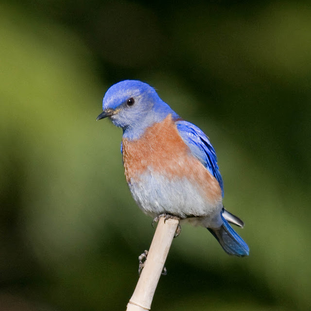 San Diego, California Backyard bird: Western Bluebird