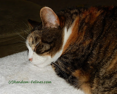 torbie cat asleep
