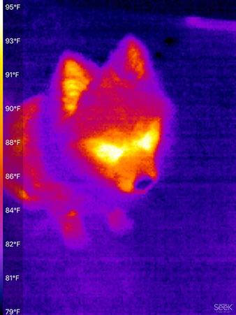 Astronomer Assistant, Danny, with cold nose in IR (Source: Palmia Observatory)