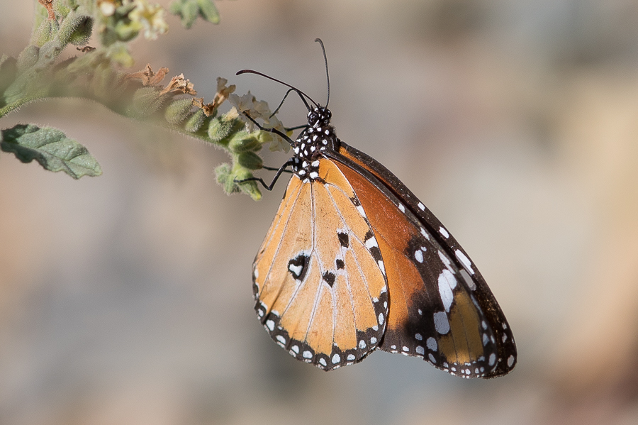 Plain Tiger – Raydah Escarpment