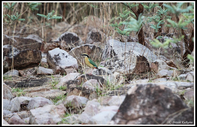 Indian Pitta at Tadoba
