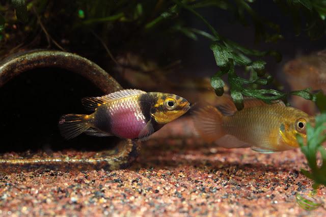 F1 Pelvicachromis subocellatus