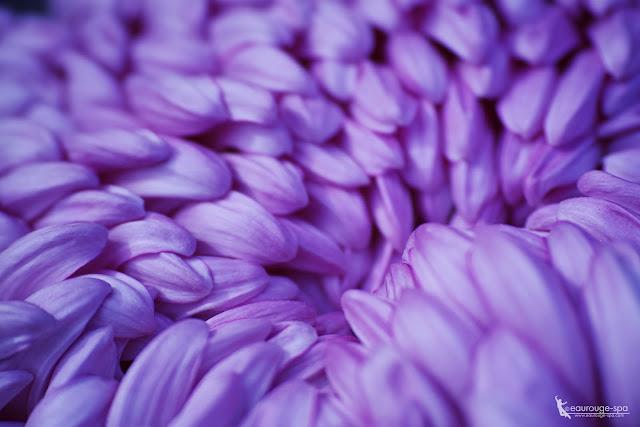 purple-chrysanthemum