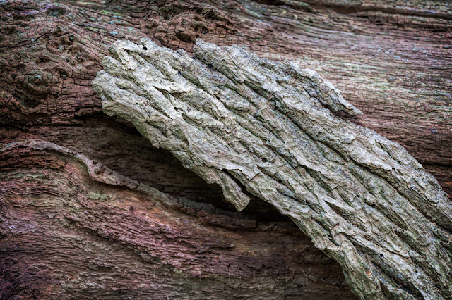 Photograph of tree bark textures in the ancient woodland of Hayley Wood Nature Reserve