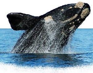Baleia Franca do Sul (Eubalaena australis)