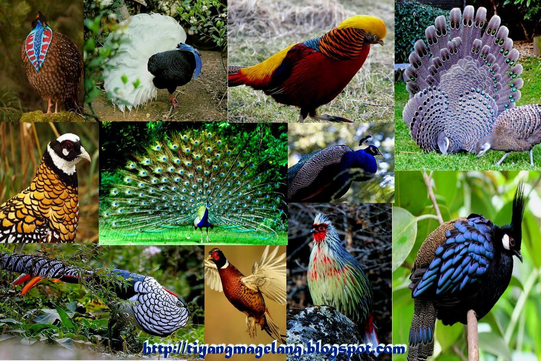 Burung cantik selain cenderawasih