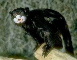 Moustached tamarin