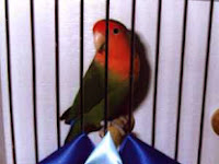 Tips ampuh menjadikan Burung Lovebird Juara