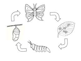 butterfly life cycle coloring page For Kids