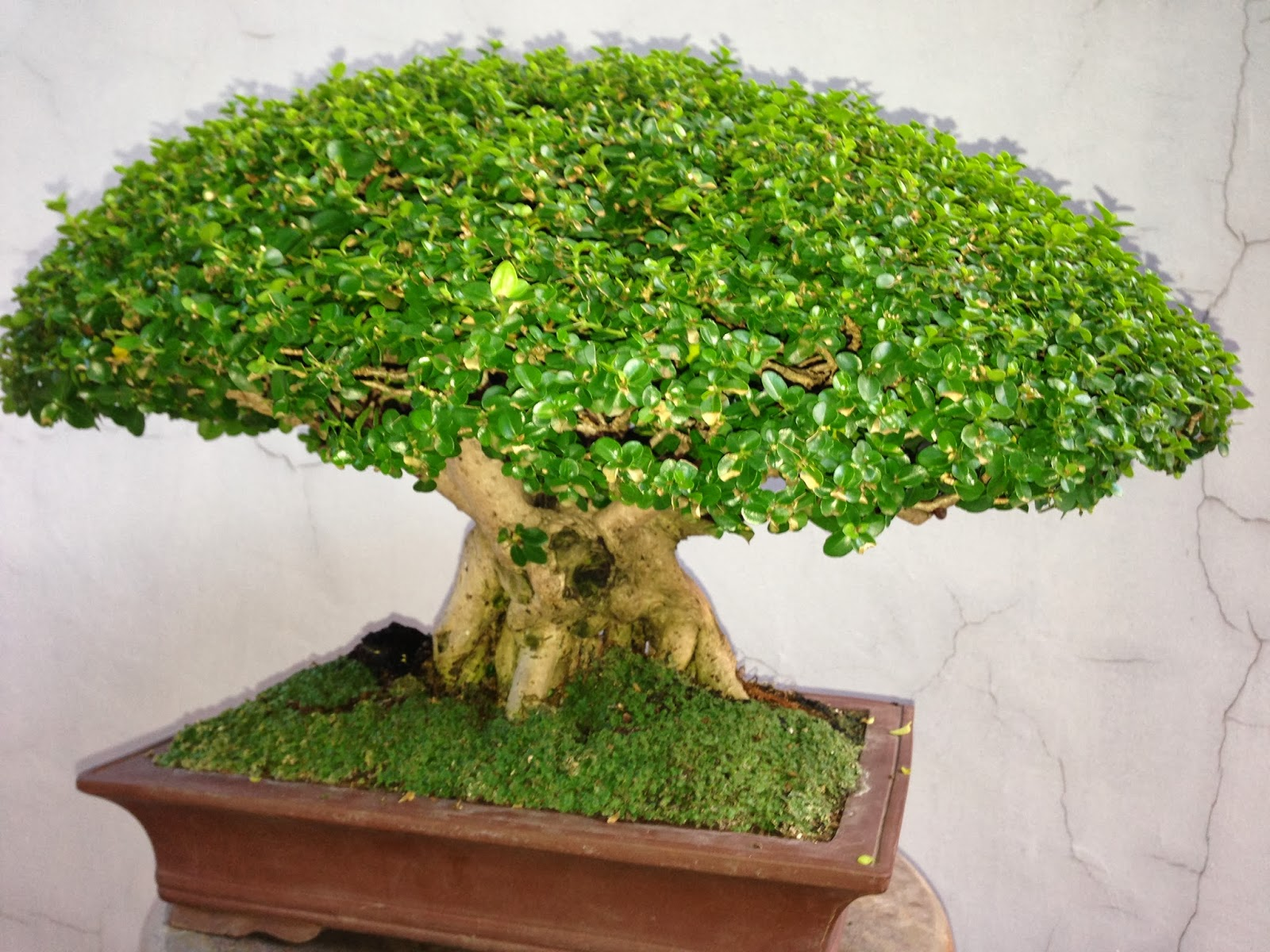 Bonsai Tree 25 Awesome Bonsai Trees For Sale Near Me Ideas
