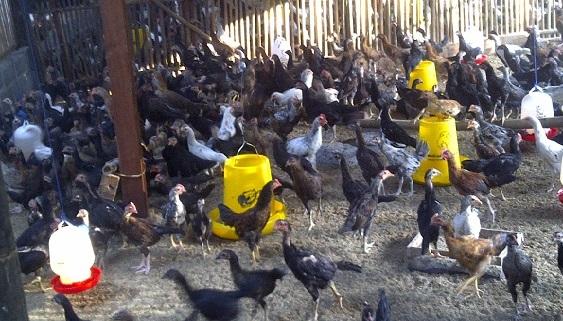 Jenis Kandang Ayam Litter