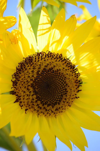 sunflowers, photography, amy myers, journal of a thousand things