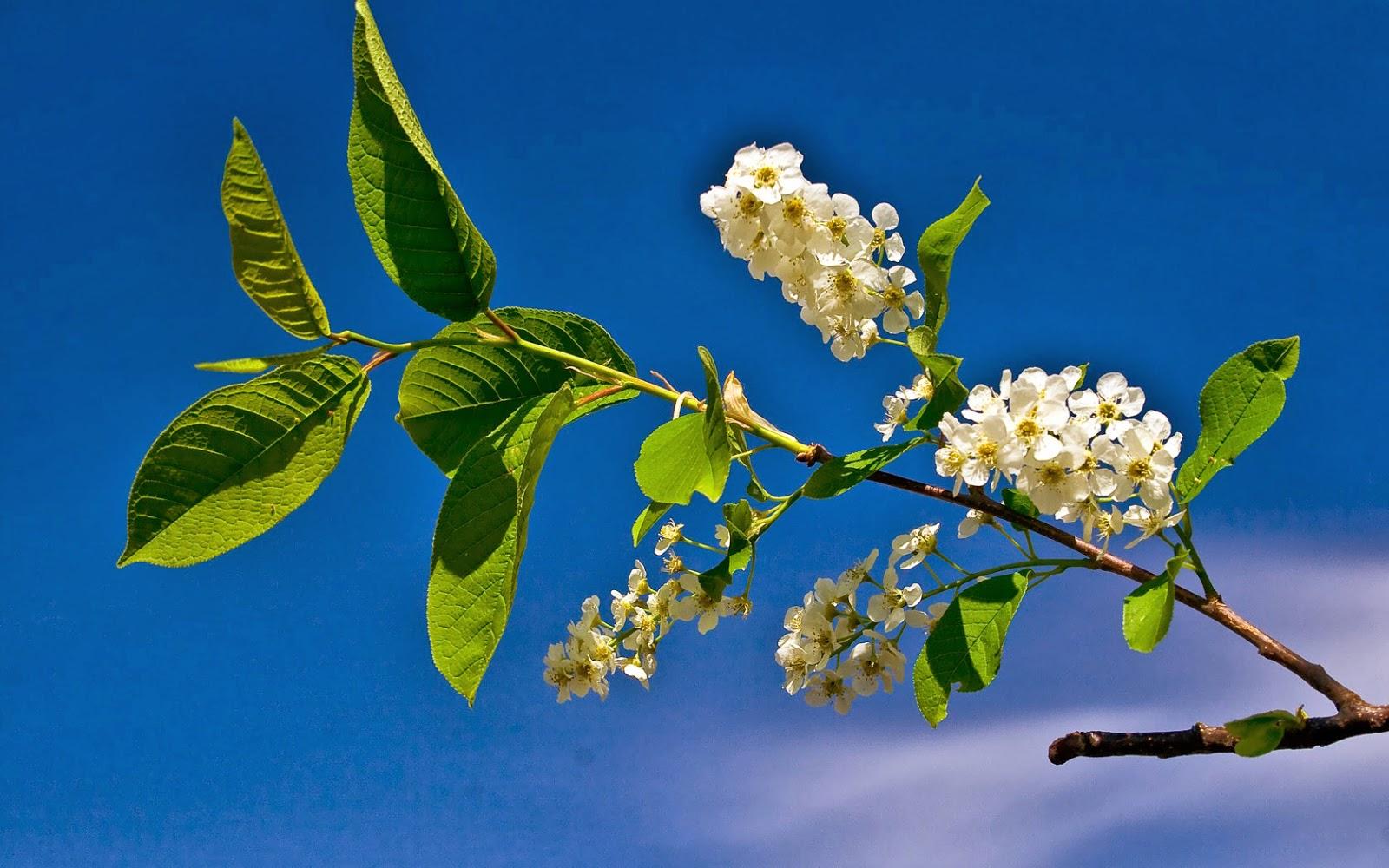 Witte bloemen aan een tak in de lente