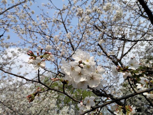 接写した桜