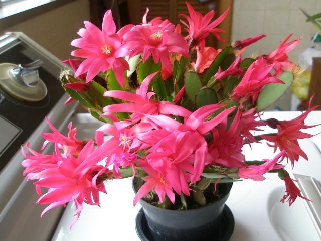 Flor-de-maio - planta suculenta, de uso ornamental.