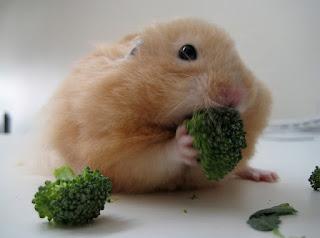 thuc-an-cho-hamster