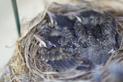 Two and a half week old baby robins