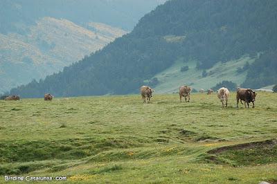 Vaques al Pla de Beret