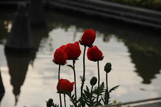 Misteri Bunga Tulip Merah Sebagai Simbol Kasih