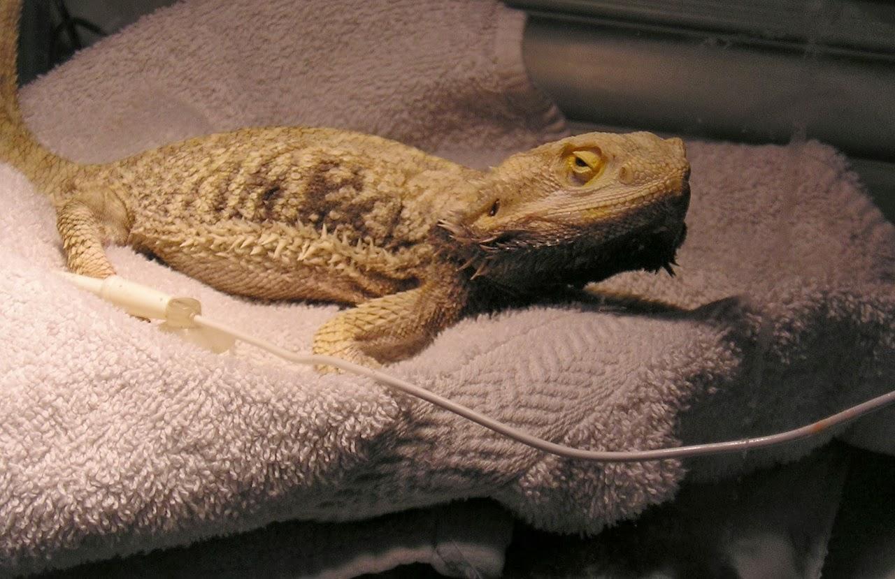 Sarah's Bearded Dragon Rescue: The Sickest Beardie on the ...
