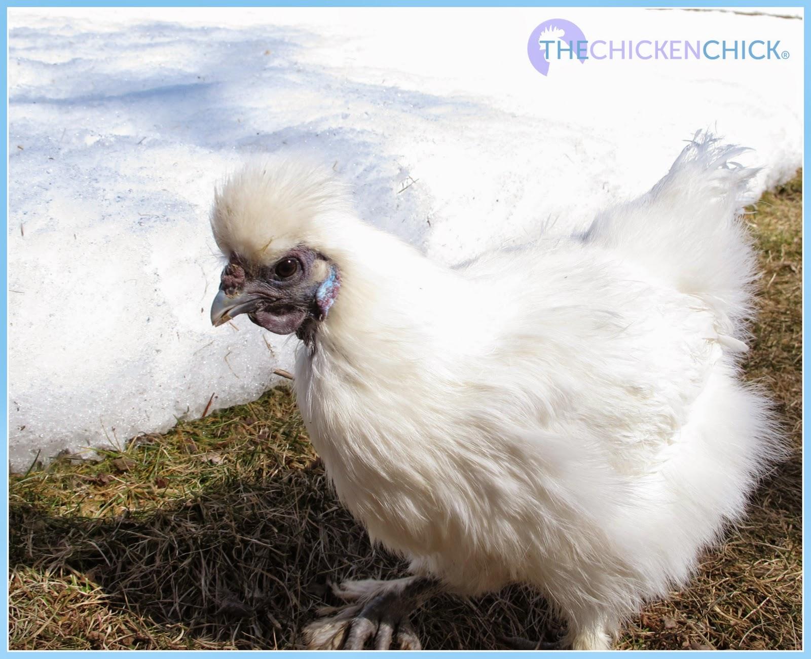 Freida, White Silkie hen.