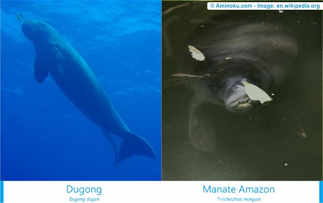 Perbedaan dugong dan manate amazon