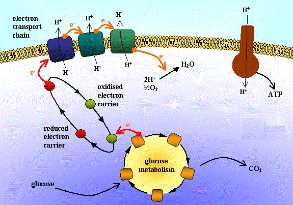 The gallery for --> Electron Transport Chain For Kids