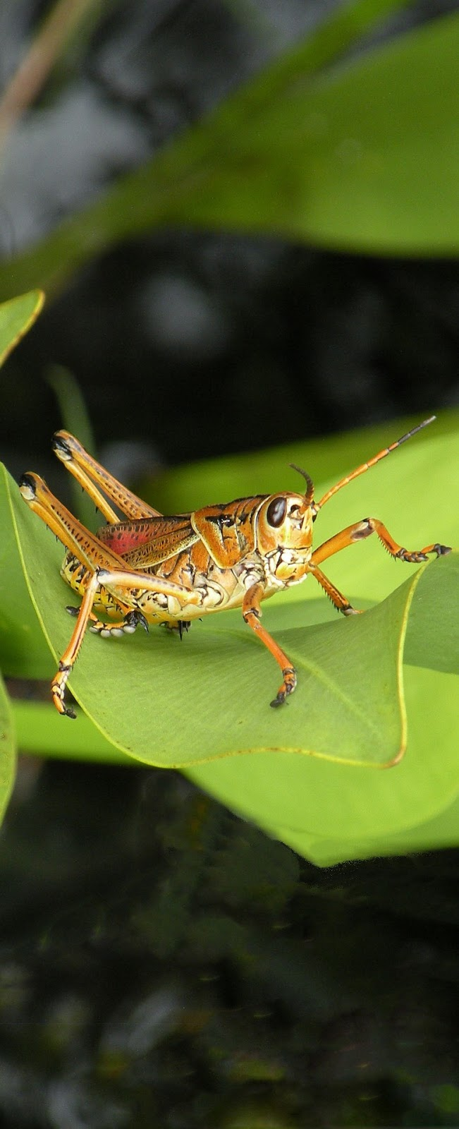 Picture of a grasshopper.