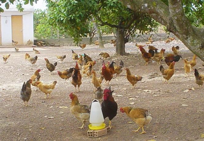 Hòa Bình: Tổng kết mô hình nuôi gà thả vườn