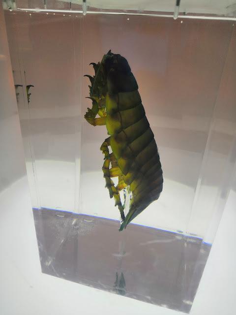 ダイオウグソクムシ 2
