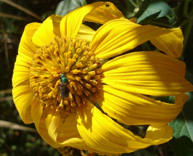 Abelha solitária de cor metálica (Augoschlorini)