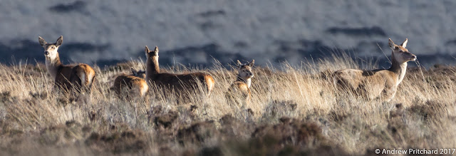 A group of hinds and calves looking for danger.