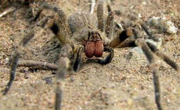 Dünyanın En Tehlikeli  ve Büyük 10 Zehirli Örümceği - Brezilya Gezici Örümceği