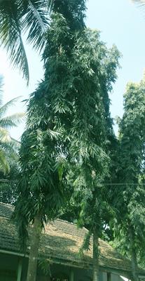 Saraca asoca) tree
