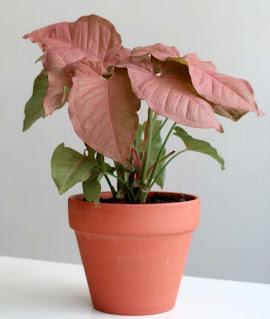 Jual Tanaman Hias Syngonium Pink - Singonium Pink