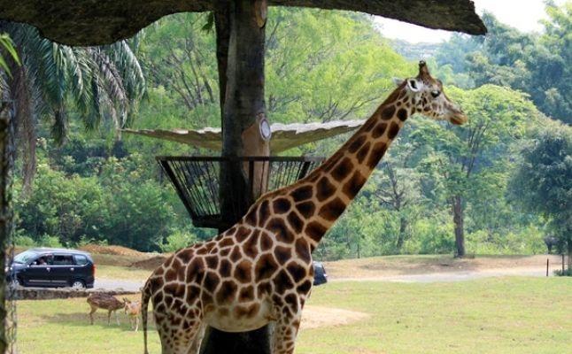 سفاري دبي  زرافة حيوانات الغابة حديقة Desert Safari Dubai  GIRAFFE animals forest jungle