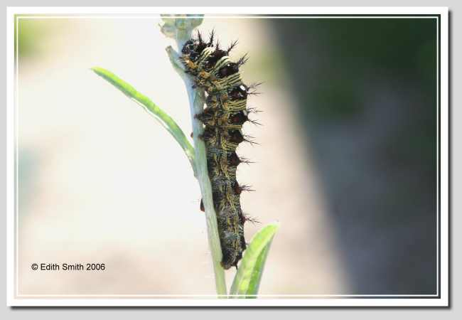 painted lady butterfly caterpillar - photo #38