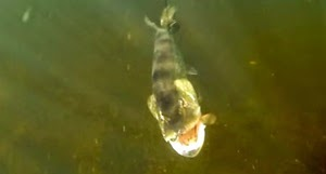 Pike Attack Underwater