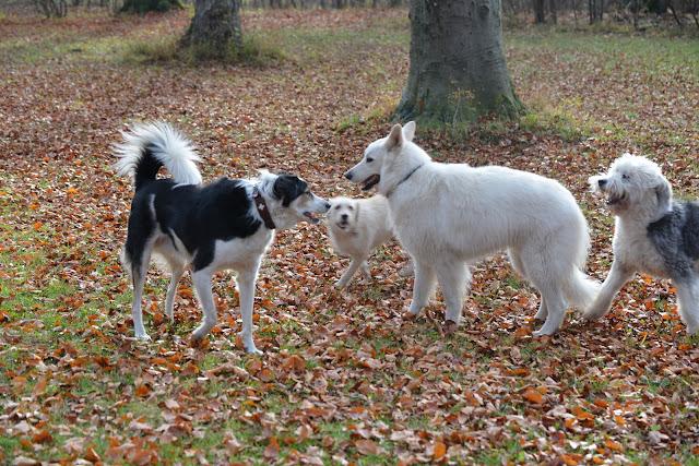 weisserschaeferhunde von altvilstal
