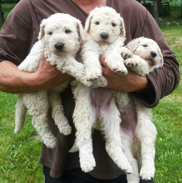 Tiny Komondor Puppies