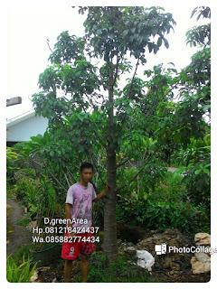 Harga jual tanaman kaki gajah tukang Taman penjual pohon baobab dengan harga paling murah