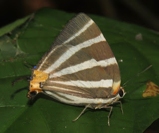 Panthiades bathildis, Zebra-striped Hairstreak