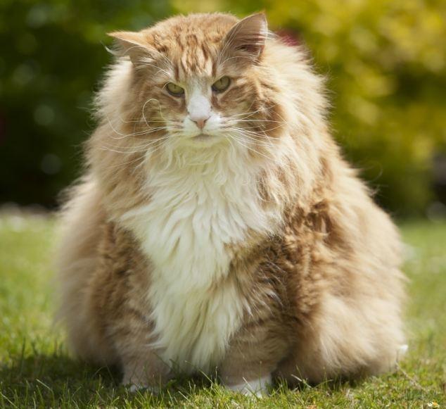 #12 Urlic: Η γάτα Νορβηγικού Δάσους που ζυγίζει 13,61 κιλά.