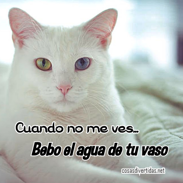 Foto de precioso gato blanco que dice que debe de tu vaso