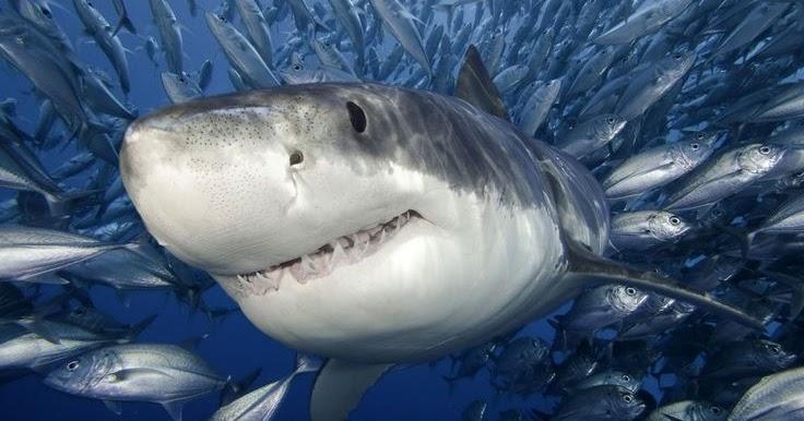 قوة فك القرش الأبيض كارشارودون ميقالودون